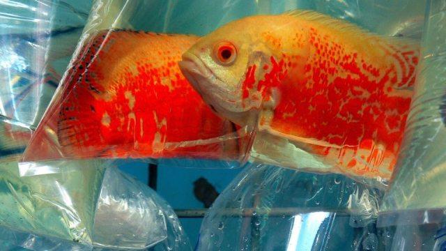 zlatne ribice hong kong Foto Bernard Spragg