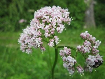 Cvet valerijane